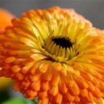 goudsbloem heilzaam voor een droge en broze huid
